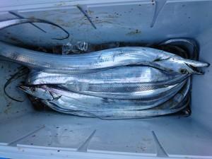 ブリ&太刀魚! - [2/2]