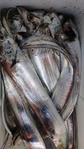 太刀魚!!! - [7/7]