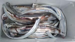 太刀魚~(^^)/ - [7/9]