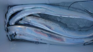 太刀魚!!! - [2/3]
