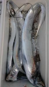 太刀魚!!! - [8/8]