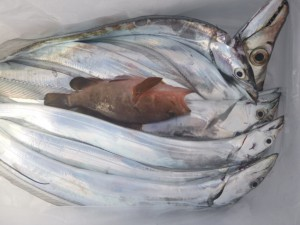 太刀魚&一つテンヤ!!! - [3/3]